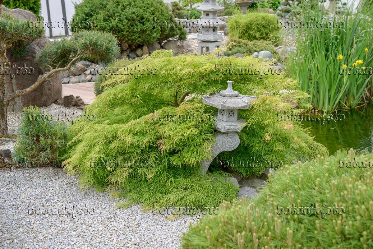 bilder japanische g rten bilder und videos von pflanzen und g rten botanikfoto. Black Bedroom Furniture Sets. Home Design Ideas