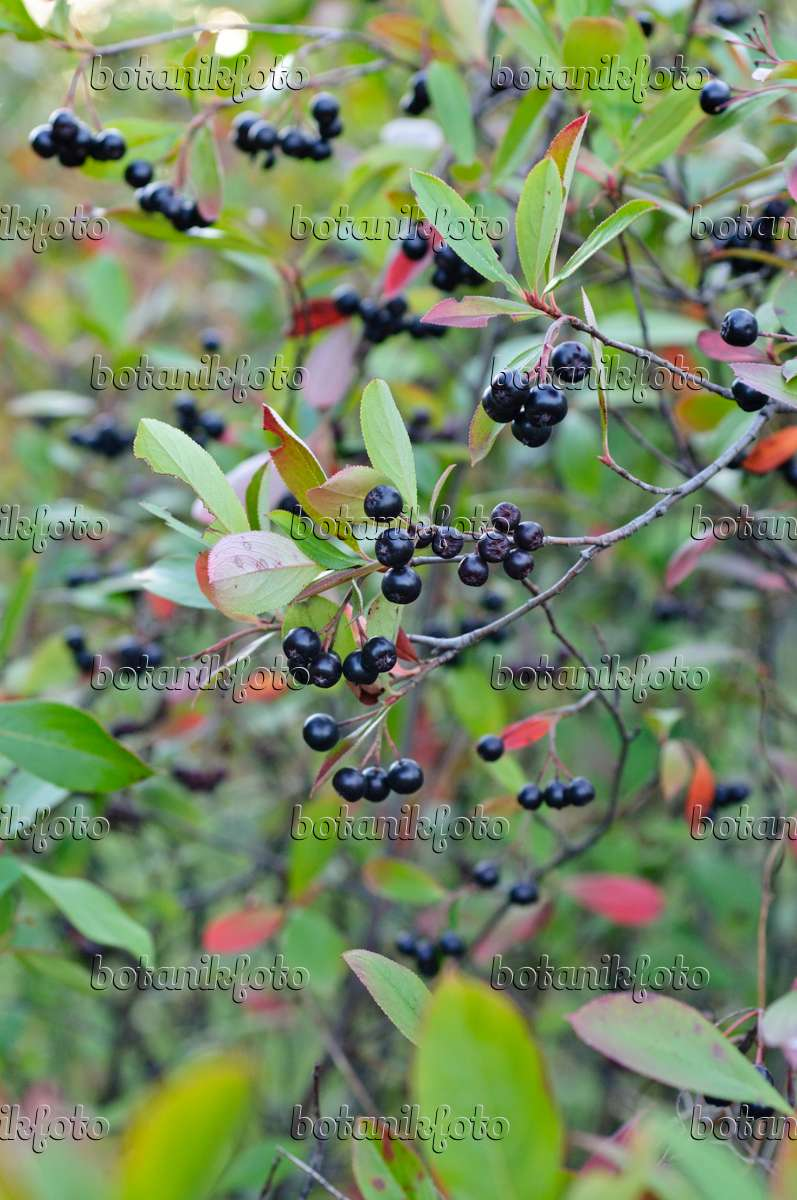 bild filzige apfelbeere photinia arbutifolia syn aronia arbutifolia 476193 bilder und. Black Bedroom Furniture Sets. Home Design Ideas