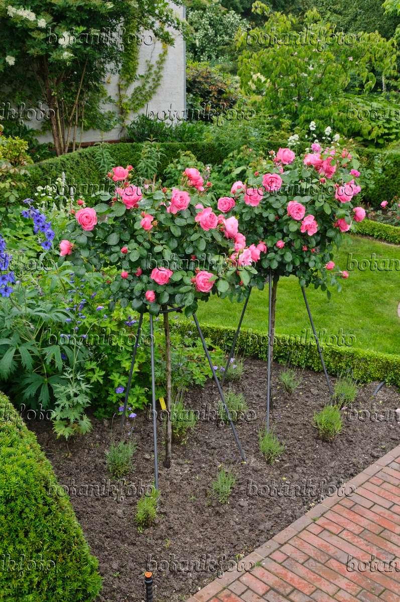 bild floribunda rose rosa leonardo da vinci 473140 bilder und videos von pflanzen und. Black Bedroom Furniture Sets. Home Design Ideas