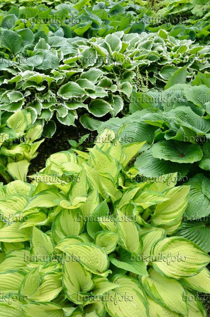 bilder funkien 2 bilder und videos von pflanzen und g rten botanikfoto. Black Bedroom Furniture Sets. Home Design Ideas