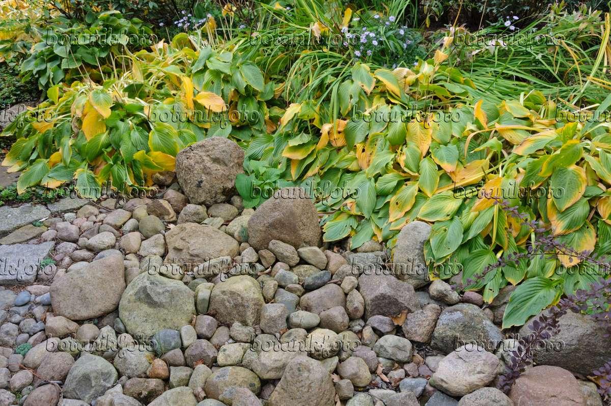 Steingarten Bilder bild funkien hosta in einem steingarten 477020 bilder und