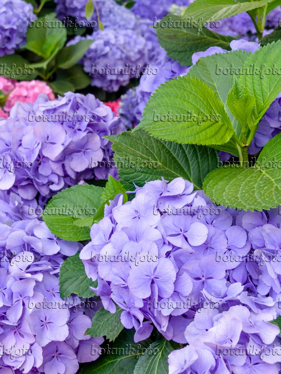 bild gartenhortensie hydrangea macrophylla 39 heinrichsberg 39 426024 bilder und videos von. Black Bedroom Furniture Sets. Home Design Ideas