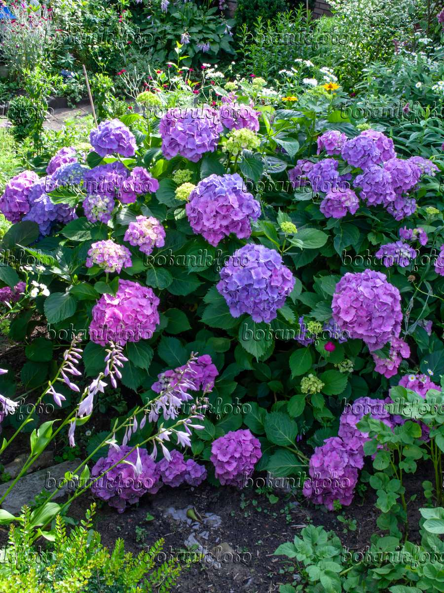 bild gartenhortensie hydrangea macrophylla 449056 bilder und videos von pflanzen und. Black Bedroom Furniture Sets. Home Design Ideas