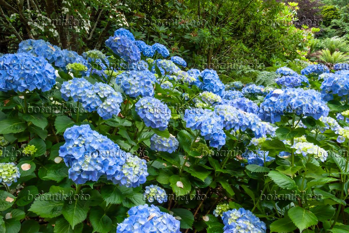 bild gartenhortensie hydrangea macrophylla 455216 bilder und videos von pflanzen und. Black Bedroom Furniture Sets. Home Design Ideas