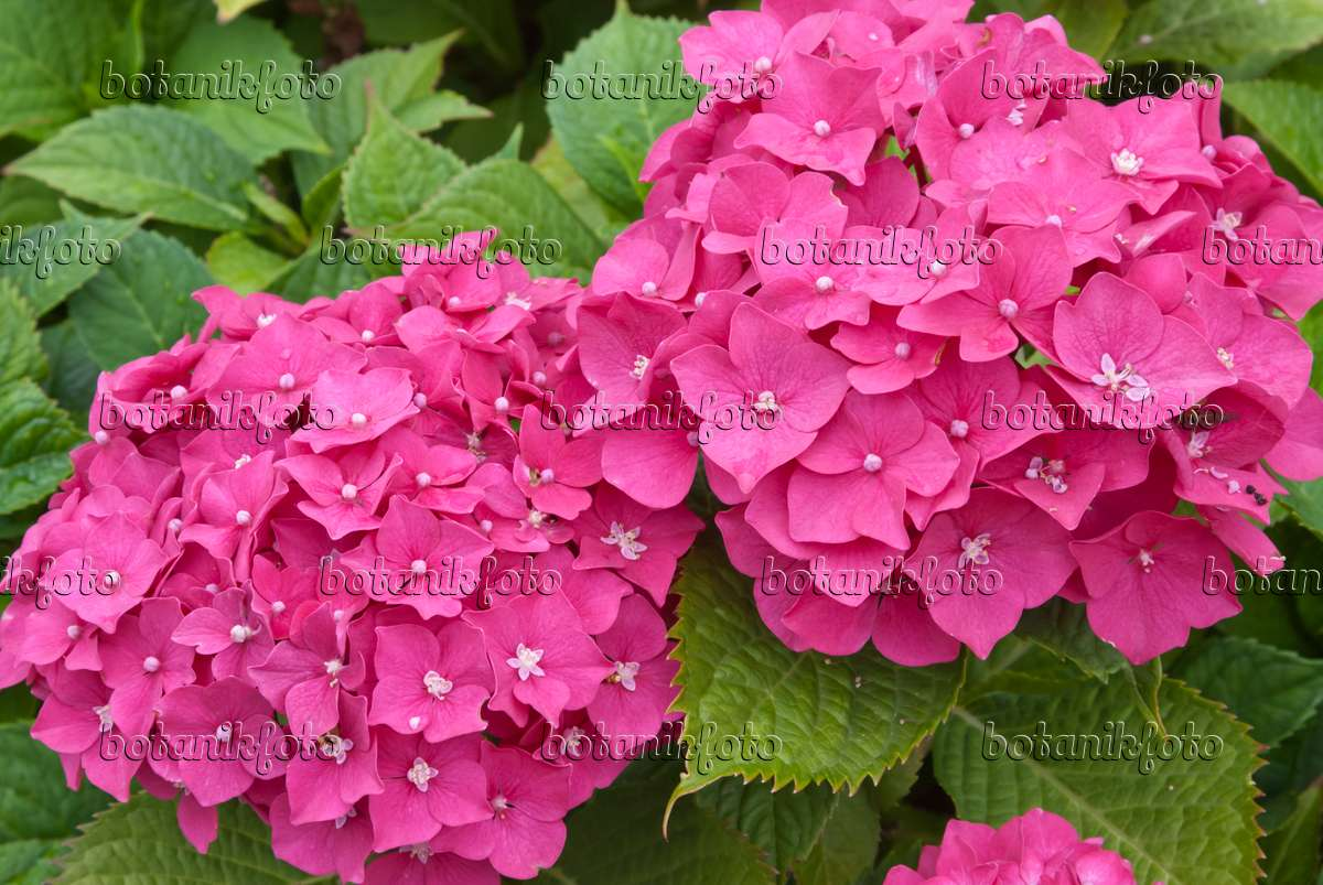 bild gartenhortensie hydrangea macrophylla 511331 bilder und videos von pflanzen und. Black Bedroom Furniture Sets. Home Design Ideas
