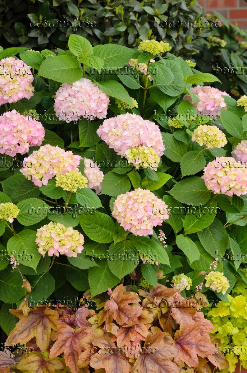 bild gartenhortensie hydrangea macrophylla und purpurgl ckchen heuchera 520402 bilder. Black Bedroom Furniture Sets. Home Design Ideas
