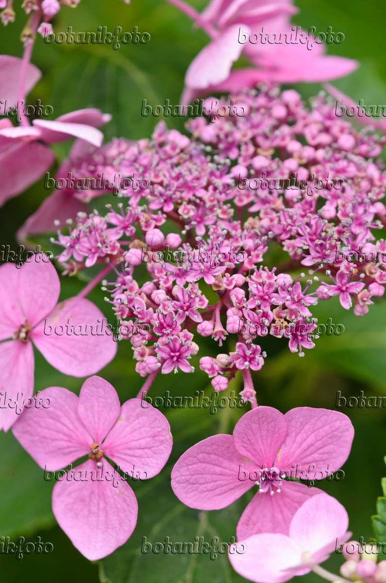 bilder hydrangea macrophylla bilder und videos von pflanzen und g rten botanikfoto. Black Bedroom Furniture Sets. Home Design Ideas