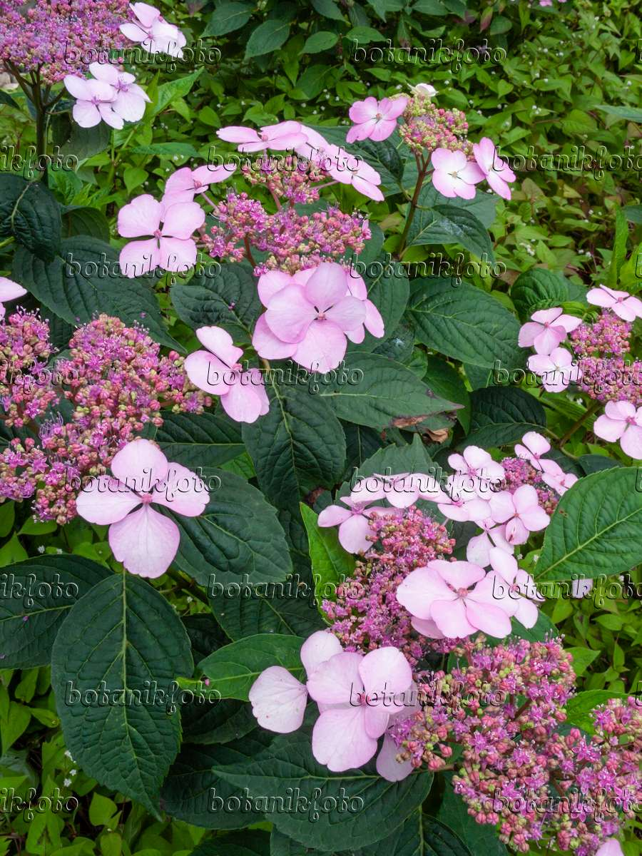 bild gartenhortensie hydrangea macrophylla 39 ayesha 39 402124 bilder und videos von pflanzen. Black Bedroom Furniture Sets. Home Design Ideas