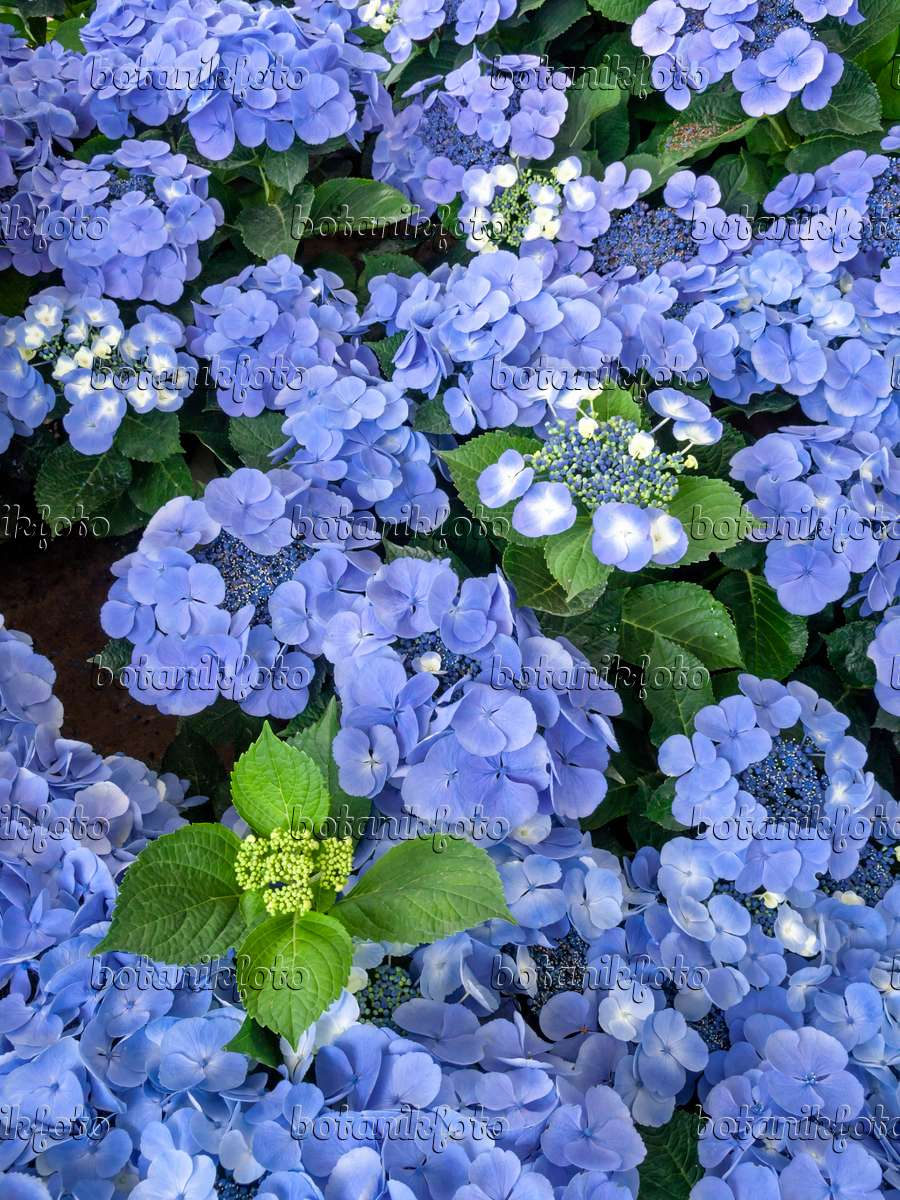 bild gartenhortensie hydrangea macrophylla 39 bl uling 39 426021 bilder und videos von. Black Bedroom Furniture Sets. Home Design Ideas