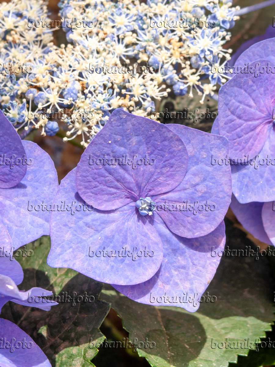 bilder hydrangea macrophylla 39 blaumeise 39 bilder und videos von pflanzen und g rten botanikfoto. Black Bedroom Furniture Sets. Home Design Ideas