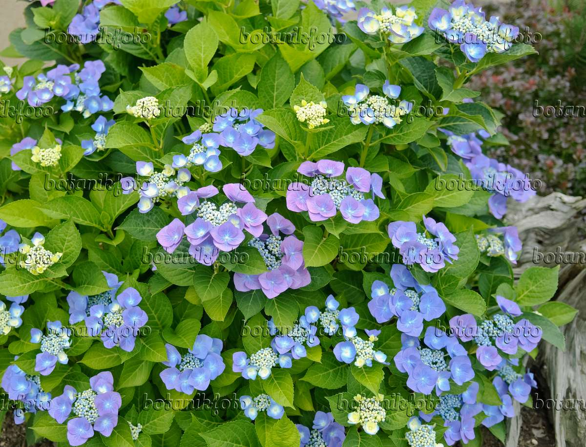 bild gartenhortensie hydrangea macrophylla 39 blaumeise 39 490077 bilder und videos von. Black Bedroom Furniture Sets. Home Design Ideas