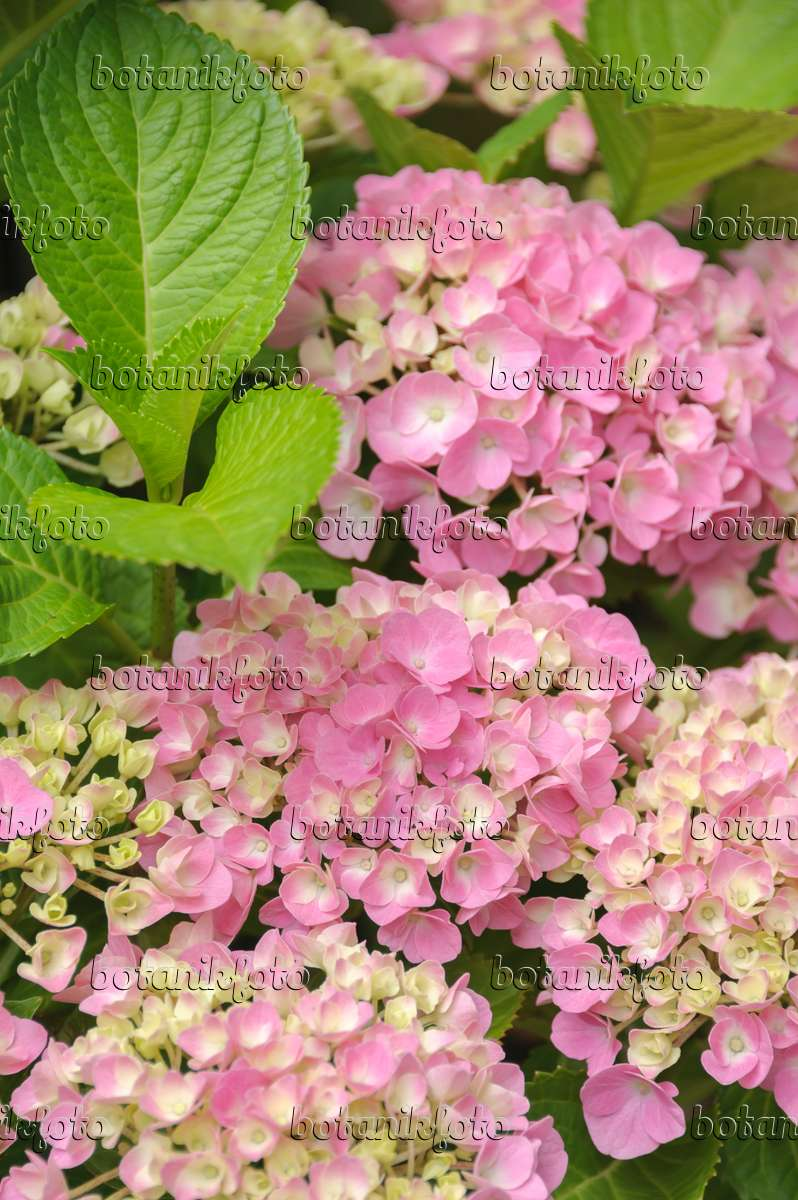 bild gartenhortensie hydrangea macrophylla 39 forever and ever pink 39 535281 bilder und. Black Bedroom Furniture Sets. Home Design Ideas