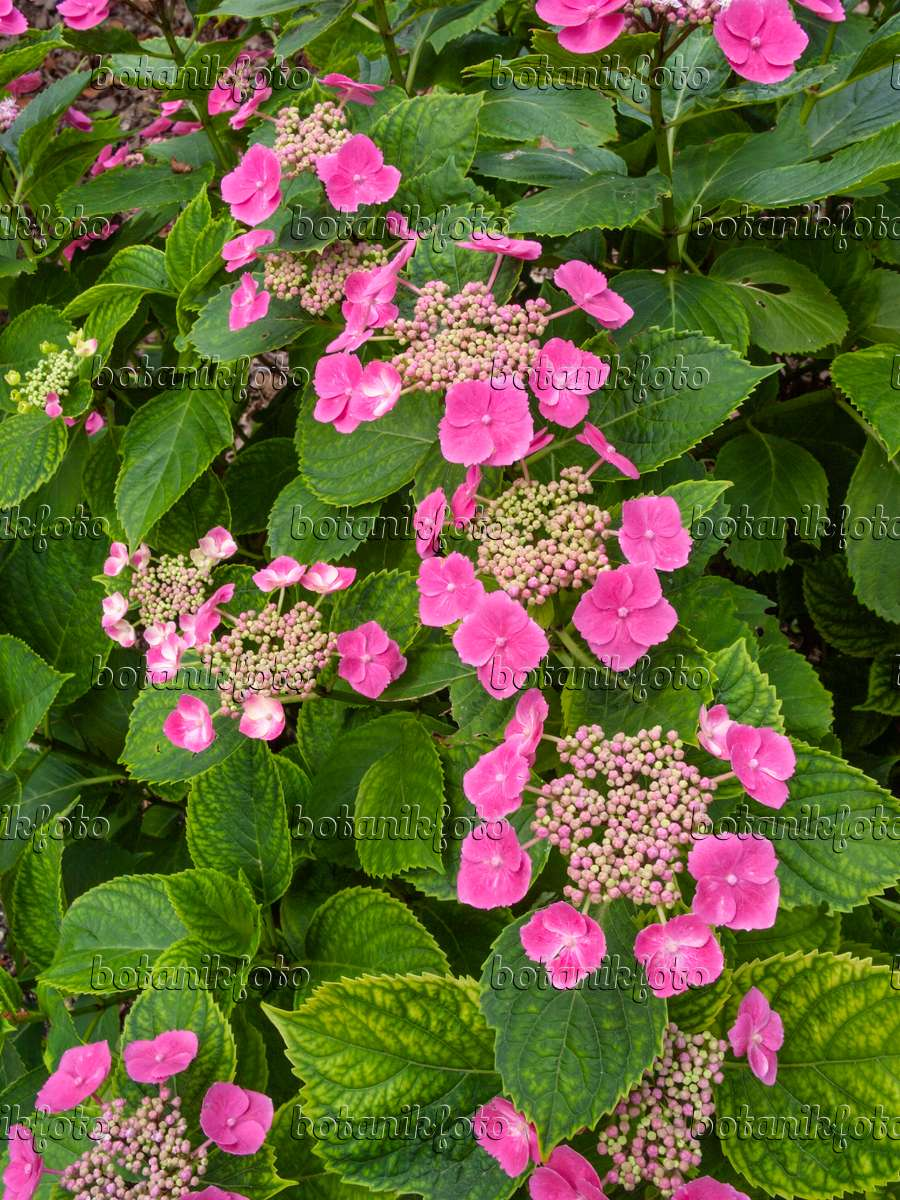 bild gartenhortensie hydrangea macrophylla 39 m we 39 402125 bilder und videos von pflanzen. Black Bedroom Furniture Sets. Home Design Ideas