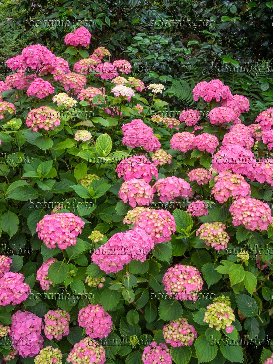 bild gartenhortensie hydrangea macrophylla 39 parzifal 39 402128 bilder und videos von. Black Bedroom Furniture Sets. Home Design Ideas