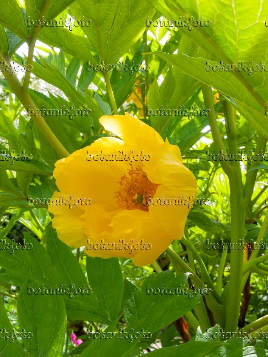 bild gelbe pfingstrose paeonia lutea 401171 bilder und videos von pflanzen und g rten. Black Bedroom Furniture Sets. Home Design Ideas