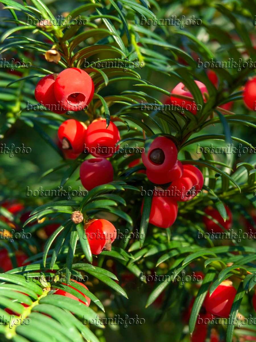 bild gew hnliche eibe taxus baccata 430115 bilder und videos von pflanzen und g rten. Black Bedroom Furniture Sets. Home Design Ideas