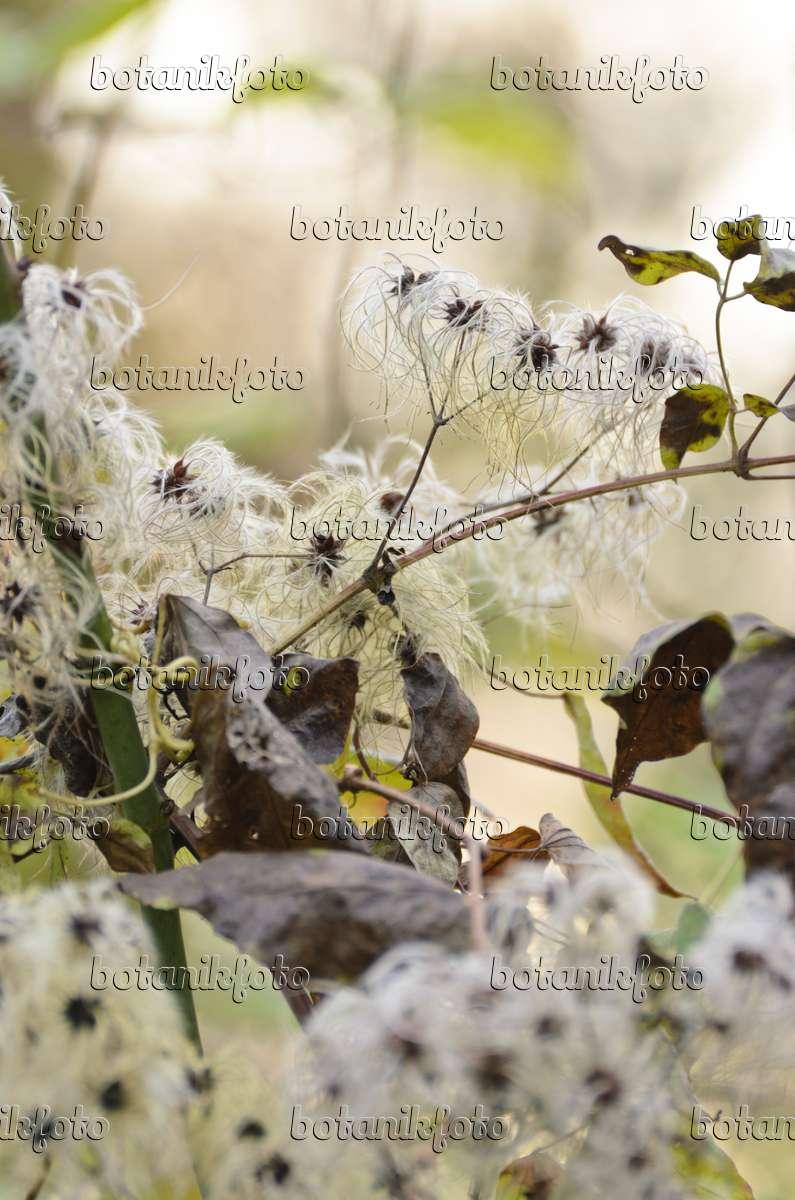 bild gew hnliche waldrebe clematis vitalba 502067 bilder und videos von pflanzen und. Black Bedroom Furniture Sets. Home Design Ideas