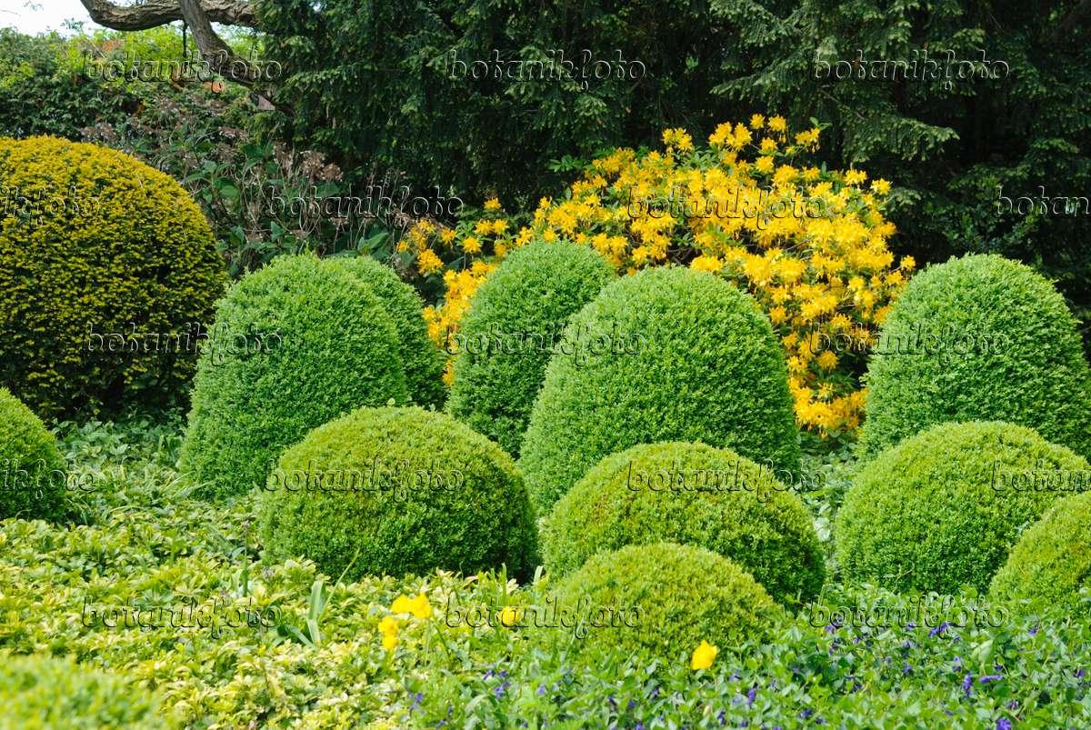 bilder buchsbaum 2 bilder und videos von pflanzen und g rten botanikfoto. Black Bedroom Furniture Sets. Home Design Ideas