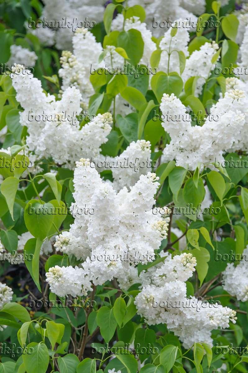 bild gew hnlicher flieder syringa vulgaris 39 mme florent. Black Bedroom Furniture Sets. Home Design Ideas