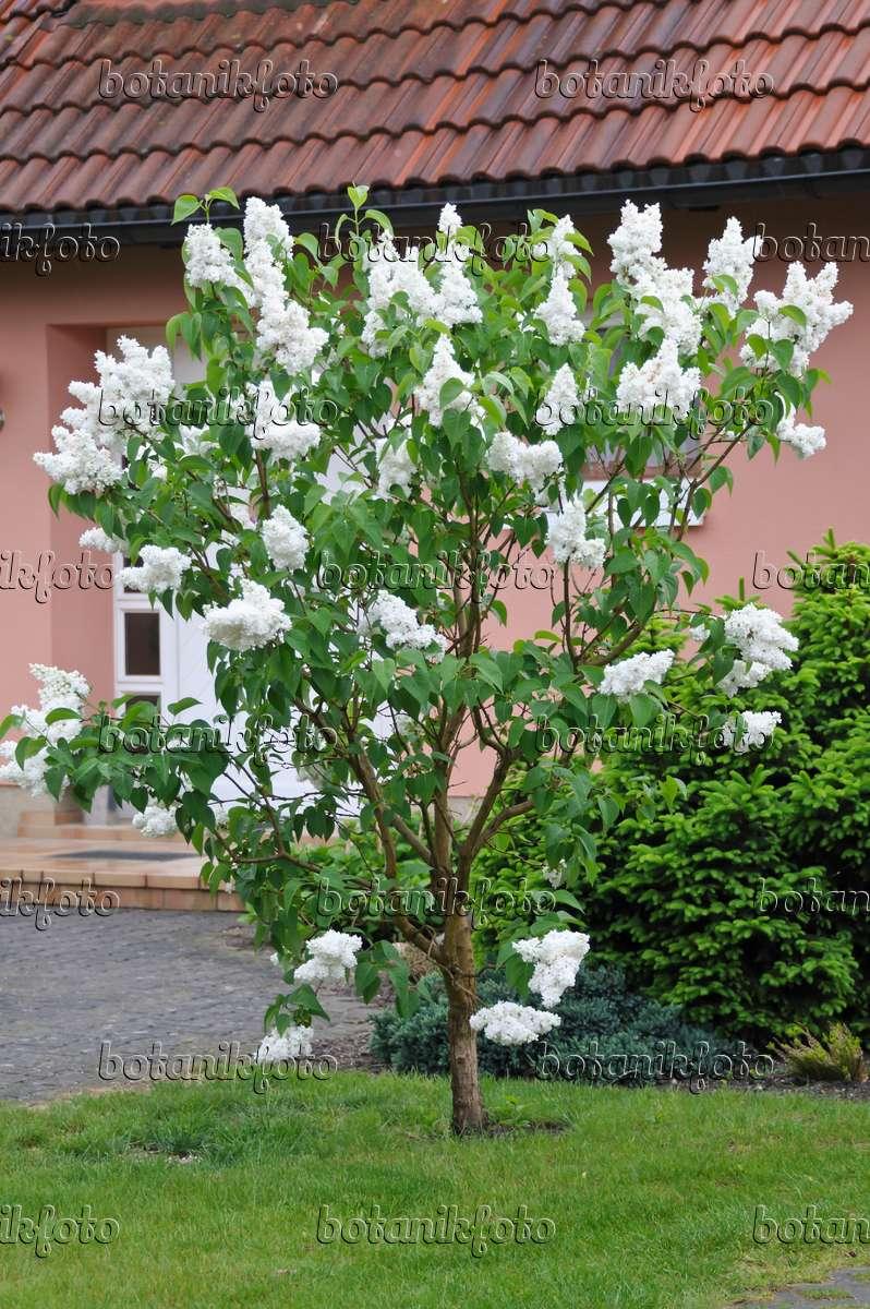 bild gew hnlicher flieder syringa vulgaris 39 mme lemoine. Black Bedroom Furniture Sets. Home Design Ideas