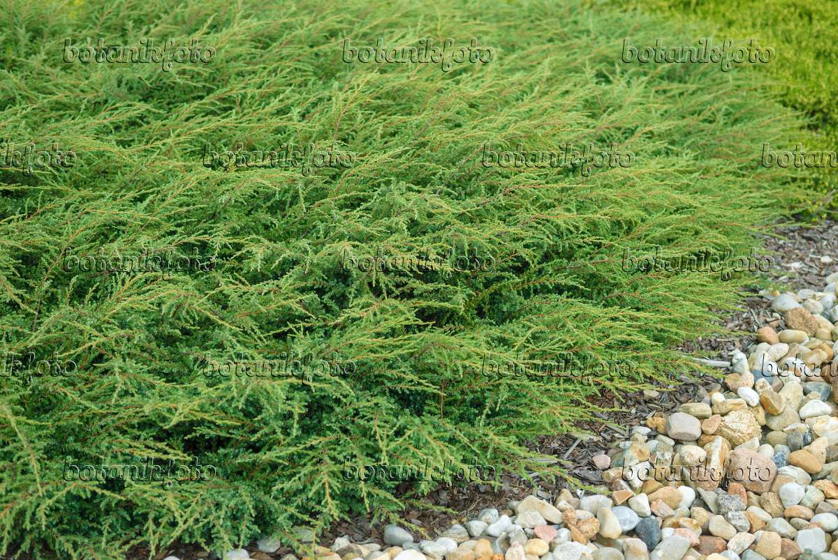 bild gew hnlicher wacholder juniperus communis 39 repanda. Black Bedroom Furniture Sets. Home Design Ideas