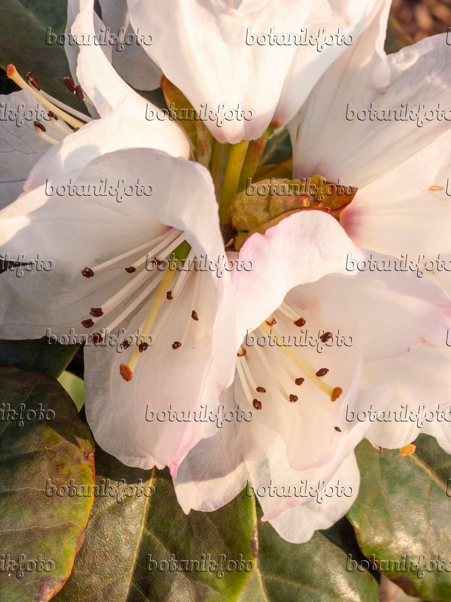 bild glockenbl tiger rhododendron rhododendron. Black Bedroom Furniture Sets. Home Design Ideas