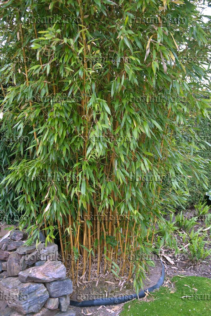 bild goldener peking bambus phyllostachys aureosulcata. Black Bedroom Furniture Sets. Home Design Ideas