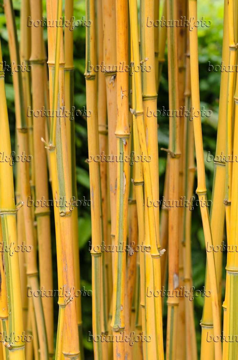 bilder goldener peking bambus bilder und videos von. Black Bedroom Furniture Sets. Home Design Ideas