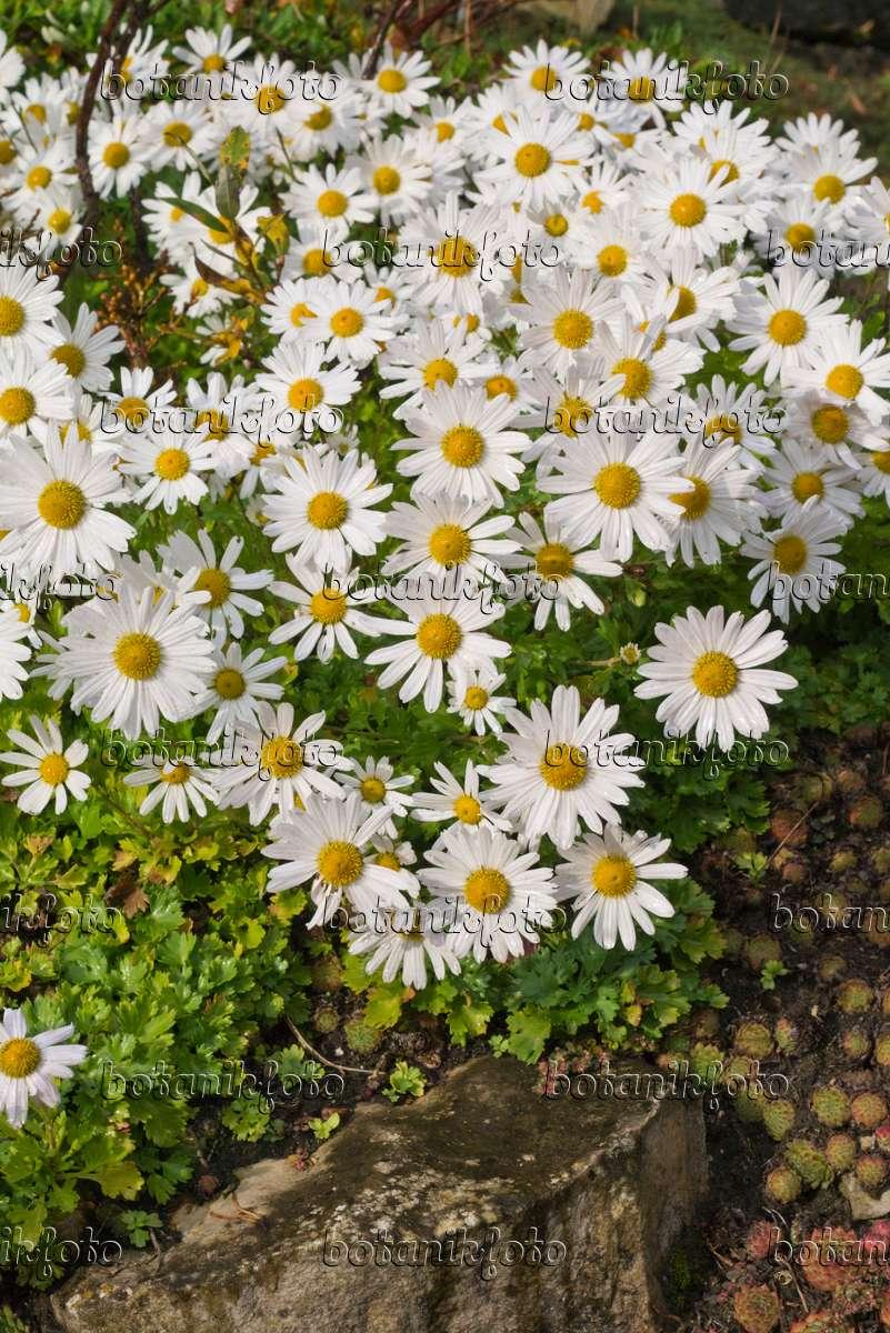 bilder chrysanthemen bilder und videos von pflanzen und g rten botanikfoto. Black Bedroom Furniture Sets. Home Design Ideas