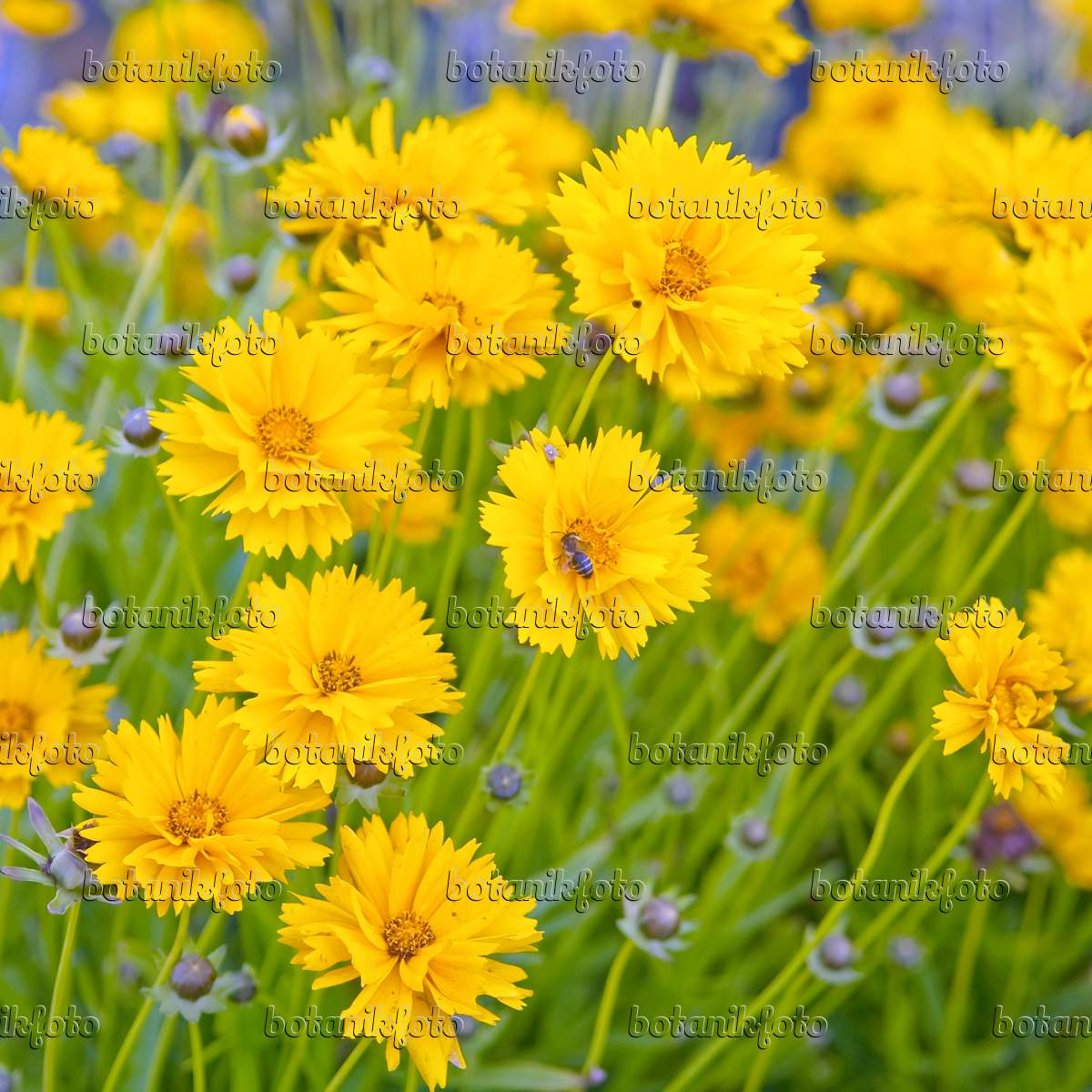 bild gro bl tiges m dchenauge coreopsis grandiflora 39 sunray 39 502160 bilder und videos von. Black Bedroom Furniture Sets. Home Design Ideas