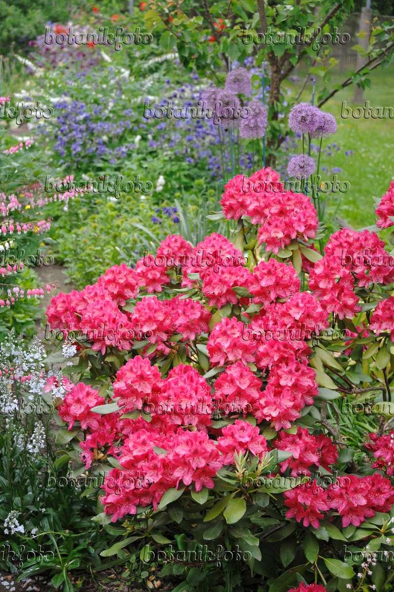 bild gro blumige rhododendron hybride rhododendron nova. Black Bedroom Furniture Sets. Home Design Ideas