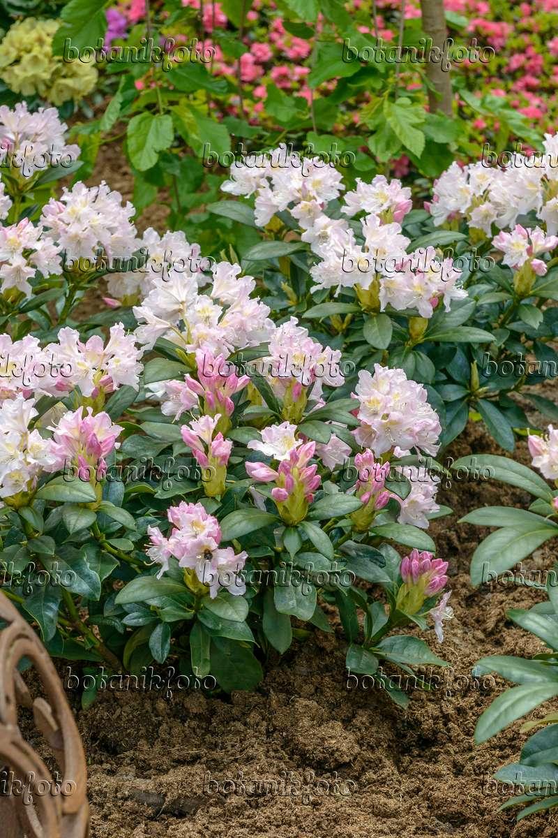 bilder rhododendron cunningham 39 s white bilder und videos. Black Bedroom Furniture Sets. Home Design Ideas