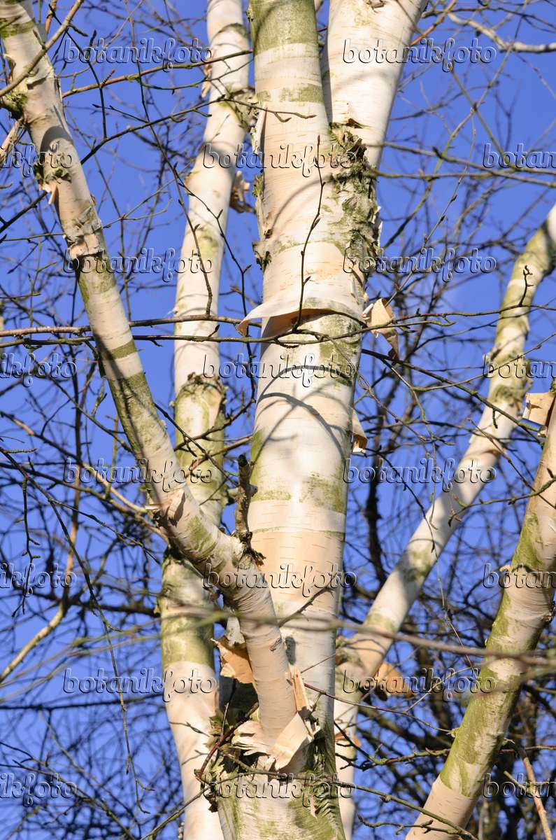 Himalaya Birke bild himalaya birke betula utilis var jacquemontii 529092