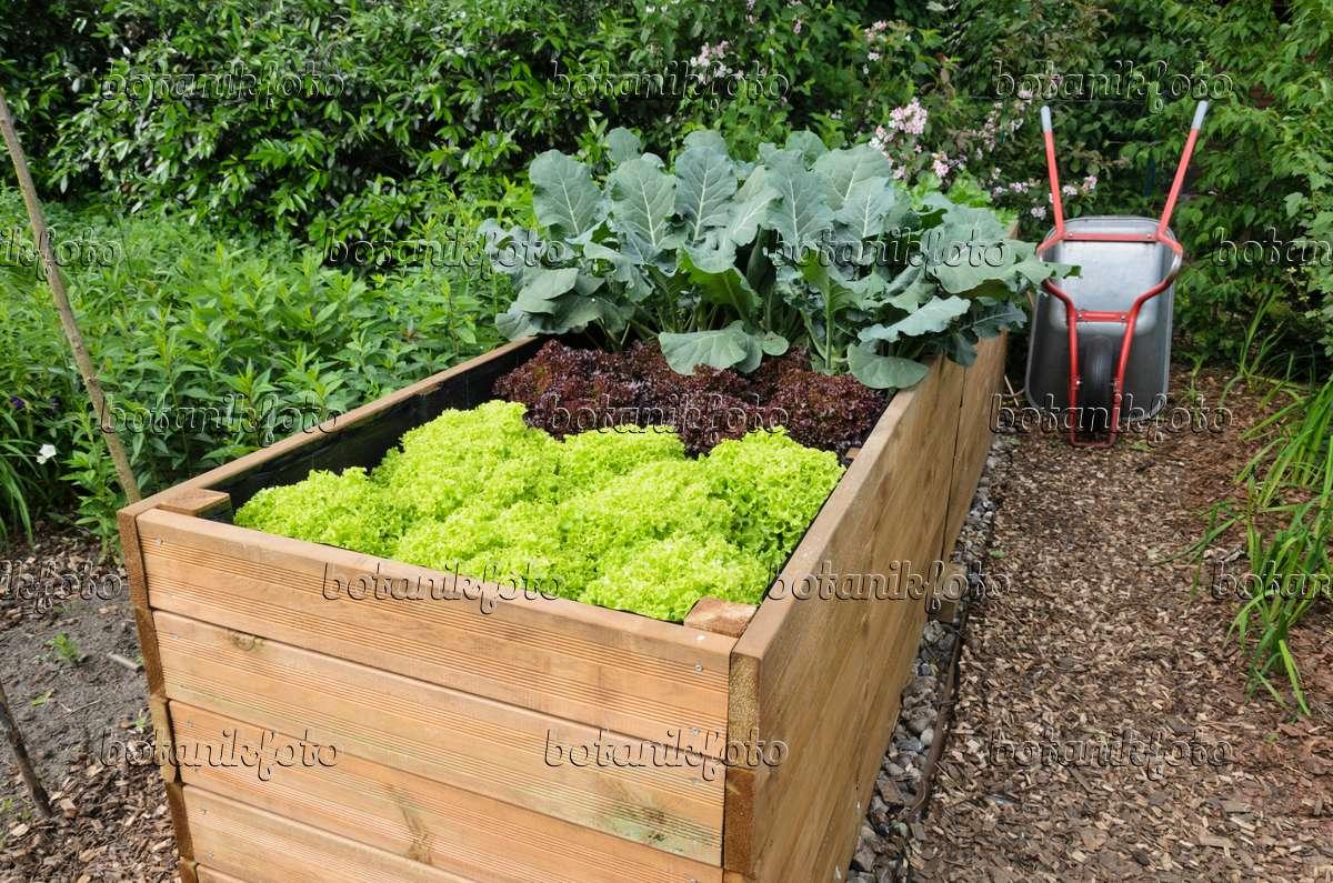 bild hochbeet mit salat lactuca 521072 bilder und videos von pflanzen und g rten botanikfoto. Black Bedroom Furniture Sets. Home Design Ideas