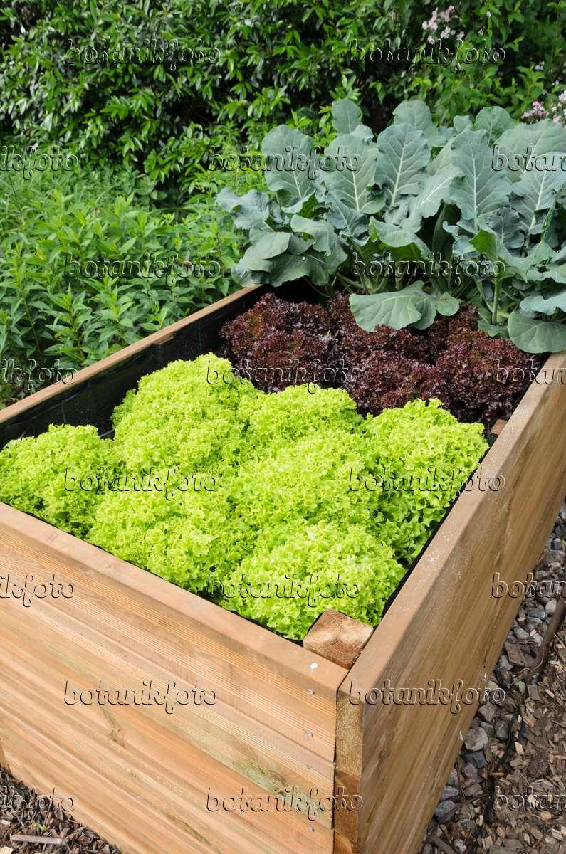 bild hochbeet mit salat lactuca 521073 bilder und videos von pflanzen und g rten botanikfoto. Black Bedroom Furniture Sets. Home Design Ideas