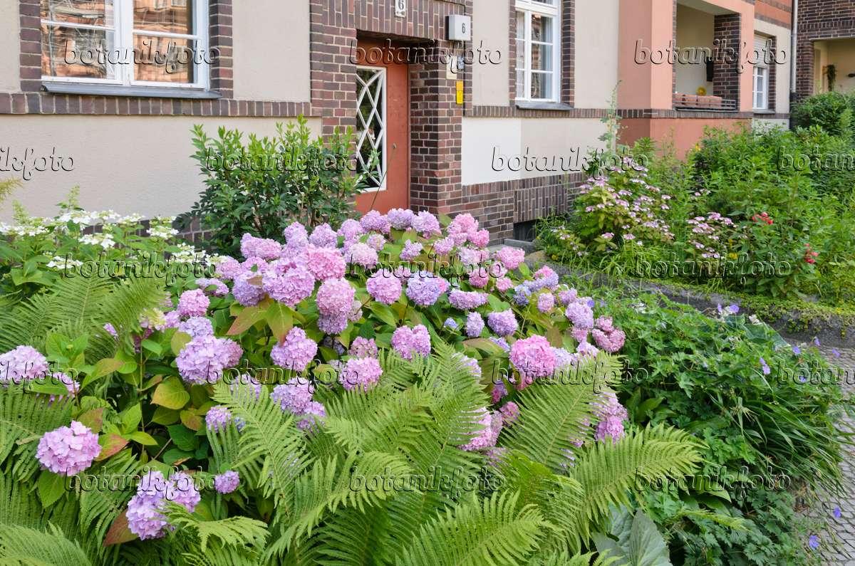 bild hortensie hydrangea im vorgarten eines. Black Bedroom Furniture Sets. Home Design Ideas
