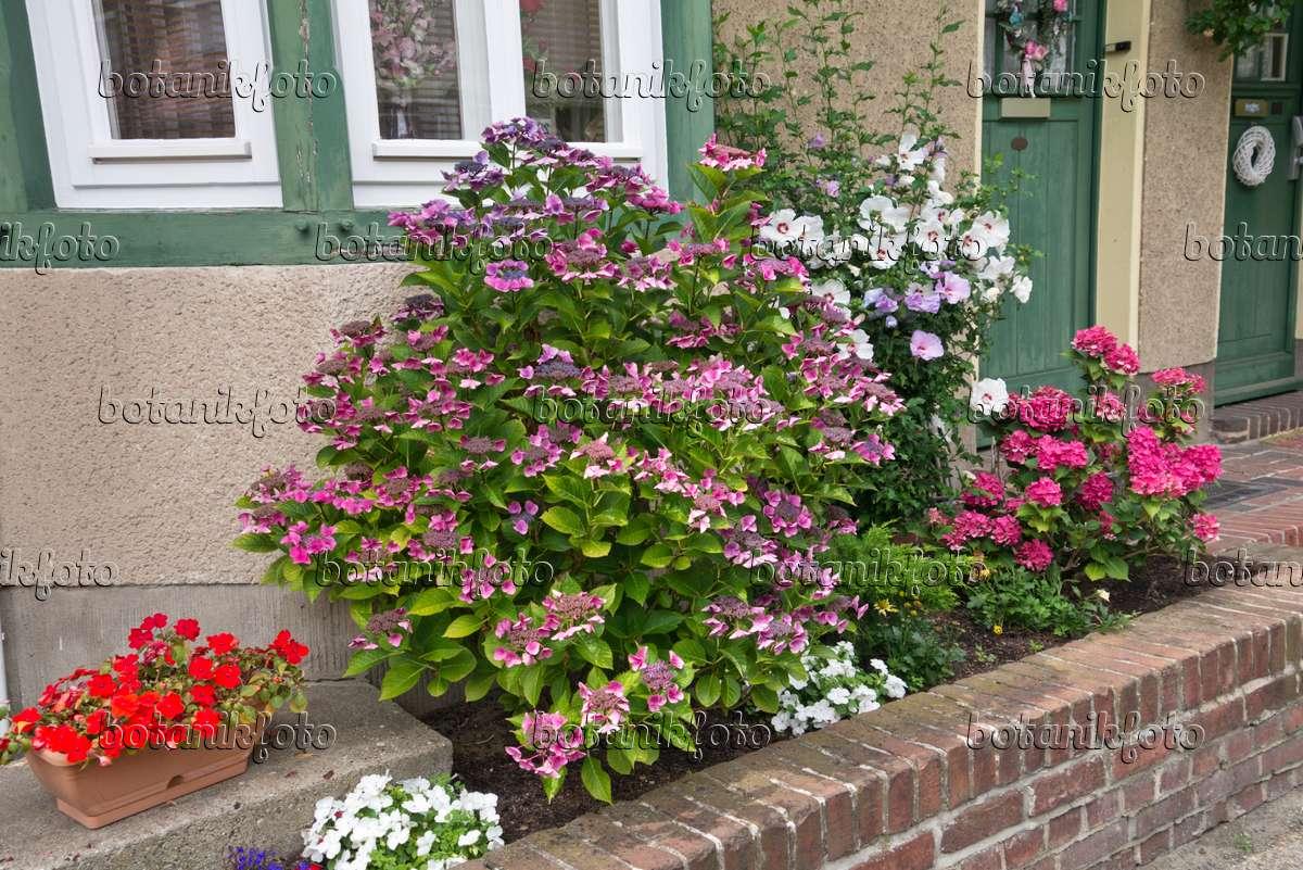 bild hortensie hydrangea straucheibisch hibiscus syriacus und flei ige lieschen impatiens. Black Bedroom Furniture Sets. Home Design Ideas