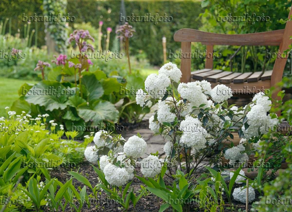 bild immergr ner schneeball viburnum eskimo 517255 bilder und videos von pflanzen und. Black Bedroom Furniture Sets. Home Design Ideas