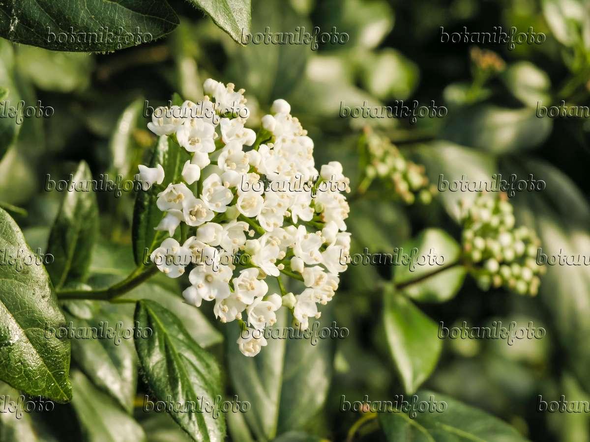 bild immergr ner schneeball viburnum tinus 422007 bilder und videos von pflanzen und. Black Bedroom Furniture Sets. Home Design Ideas