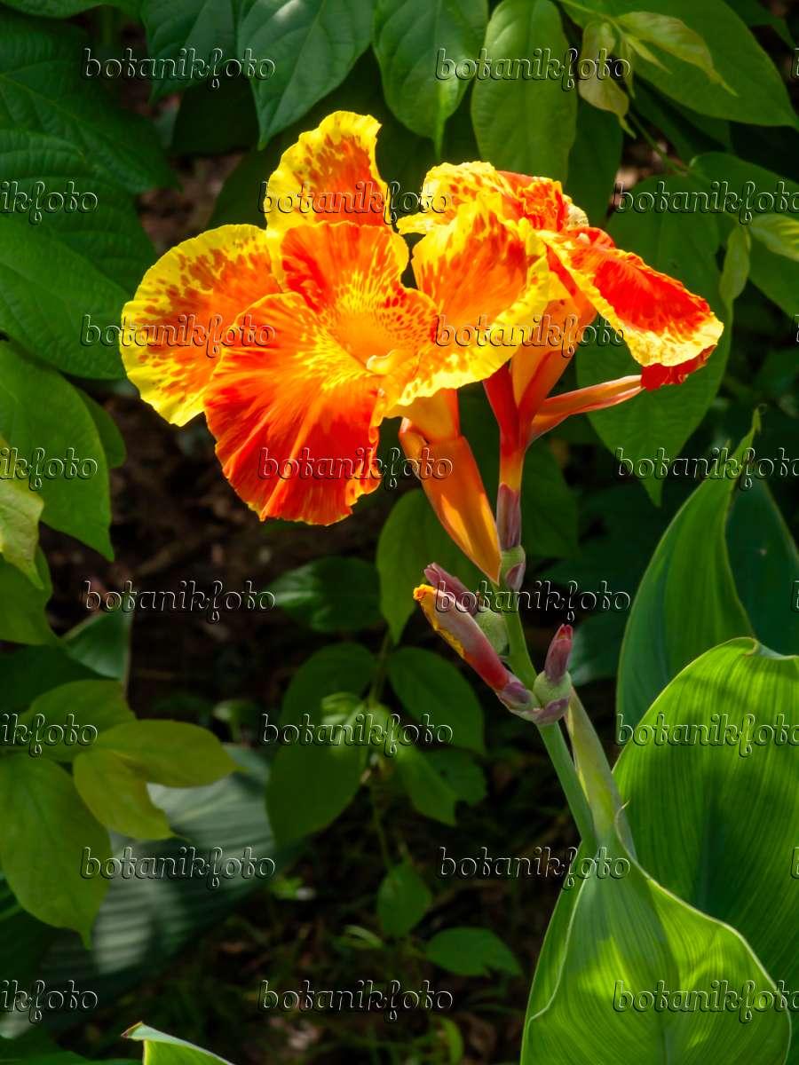 bild indisches blumenrohr canna indica 434230 bilder und videos von pflanzen und g rten. Black Bedroom Furniture Sets. Home Design Ideas