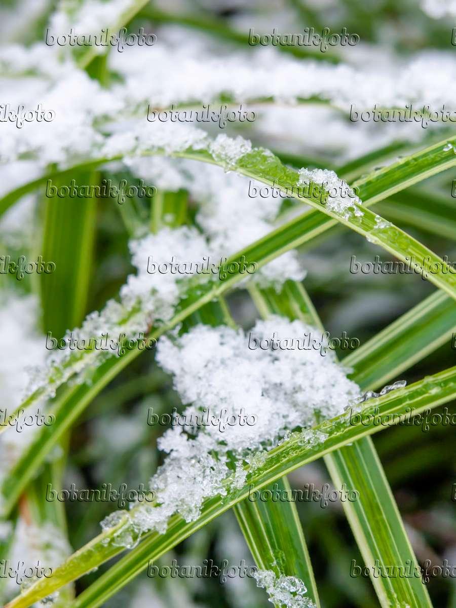 bild japan segge carex morrowii 446011 bilder und videos von pflanzen und g rten botanikfoto. Black Bedroom Furniture Sets. Home Design Ideas