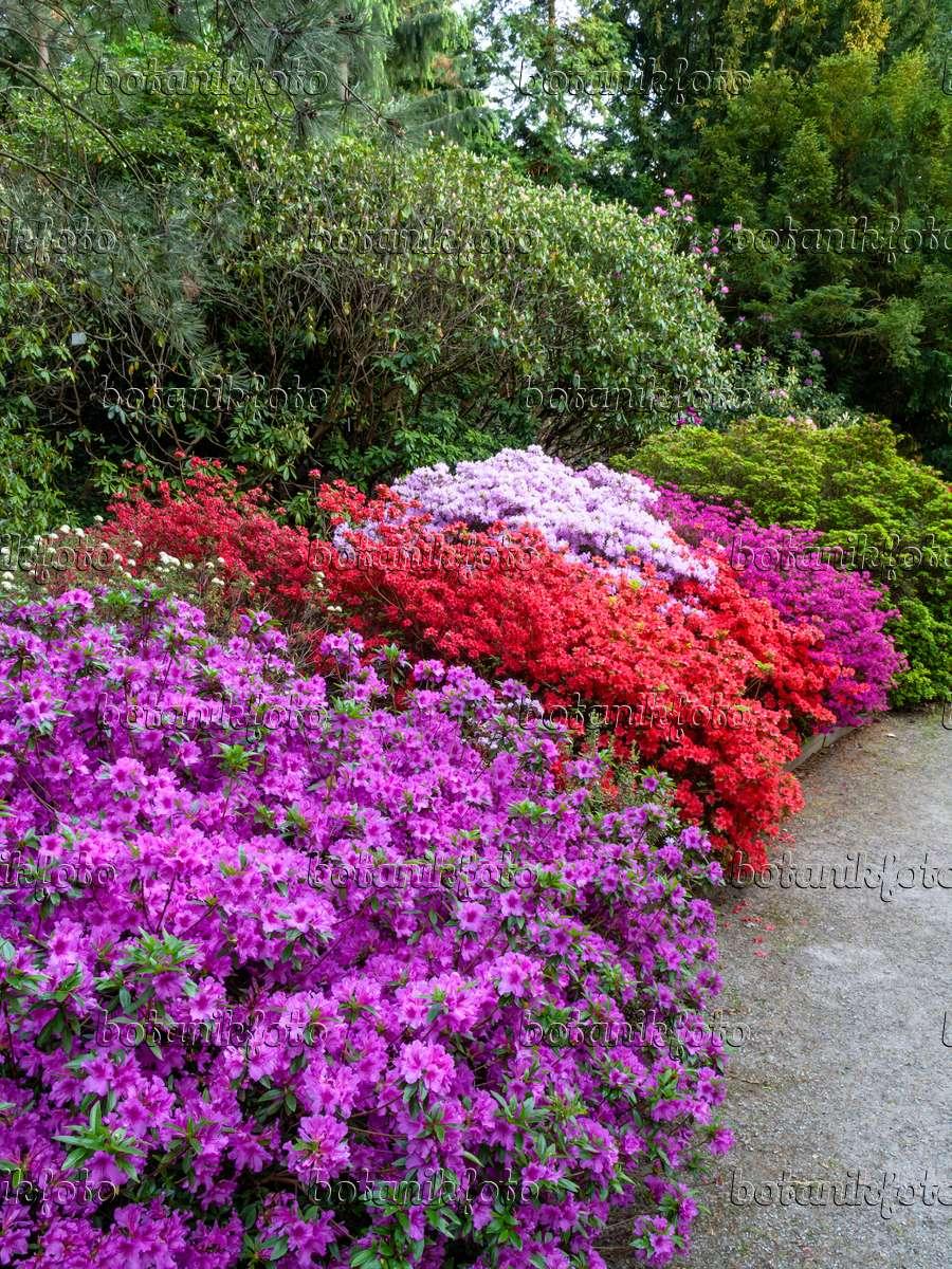 bild japanische azalee rhododendron x obtusum 39 beethoven 39 kaempfers azalee rhododendron. Black Bedroom Furniture Sets. Home Design Ideas