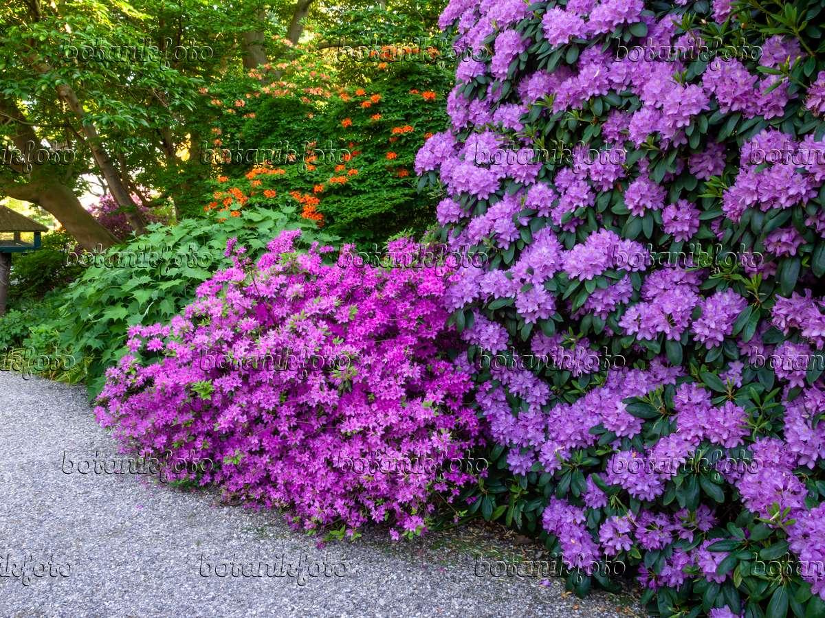 bild japanische azalee rhododendron x obtusum 39 beethoven 39 460152 bilder und videos von. Black Bedroom Furniture Sets. Home Design Ideas