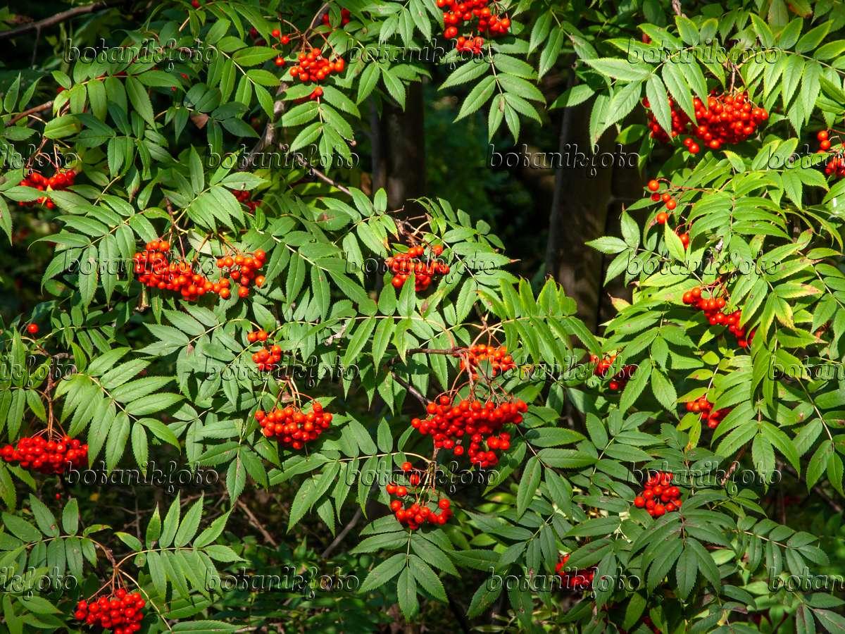 bild japanische eberesche sorbus commixta 442092 bilder und videos von pflanzen und g rten. Black Bedroom Furniture Sets. Home Design Ideas