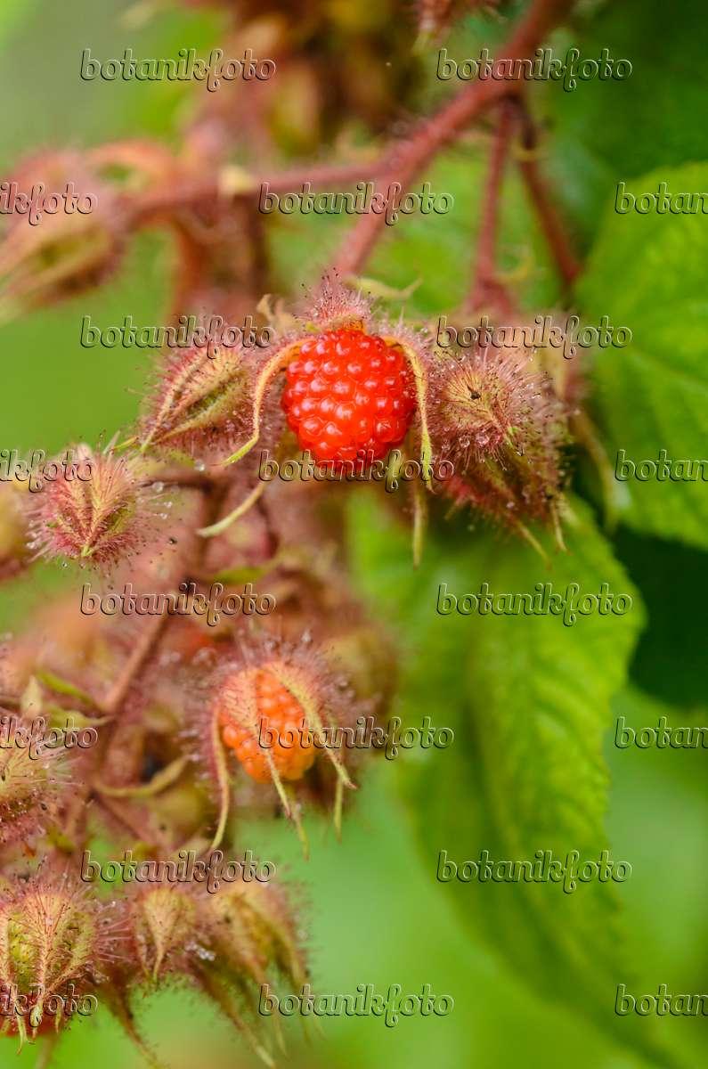 bild japanische weinbeere rubus phoenicolasius 534366 bilder und videos von pflanzen und. Black Bedroom Furniture Sets. Home Design Ideas