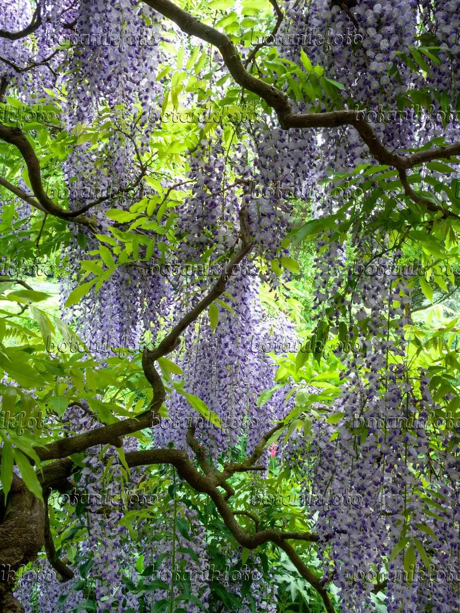 bild japanischer blauregen wisteria floribunda 39 longissima 39 437380 bilder und videos von. Black Bedroom Furniture Sets. Home Design Ideas