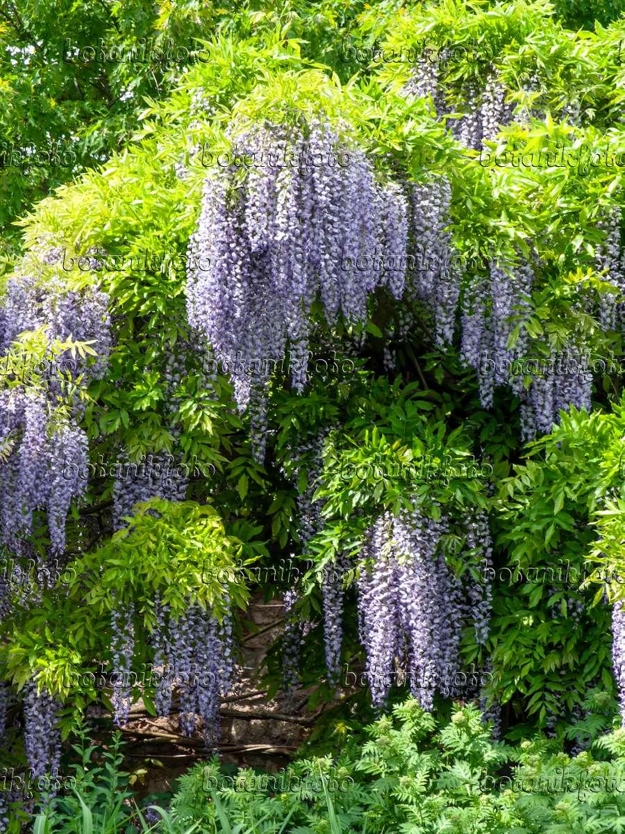 bild japanischer blauregen wisteria floribunda 39 longissima 39 437383 bilder und videos von. Black Bedroom Furniture Sets. Home Design Ideas