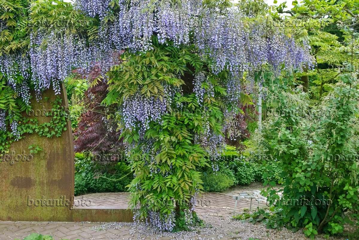 bild japanischer blauregen wisteria floribunda 39 multijuga 39 502456 bilder und videos von. Black Bedroom Furniture Sets. Home Design Ideas