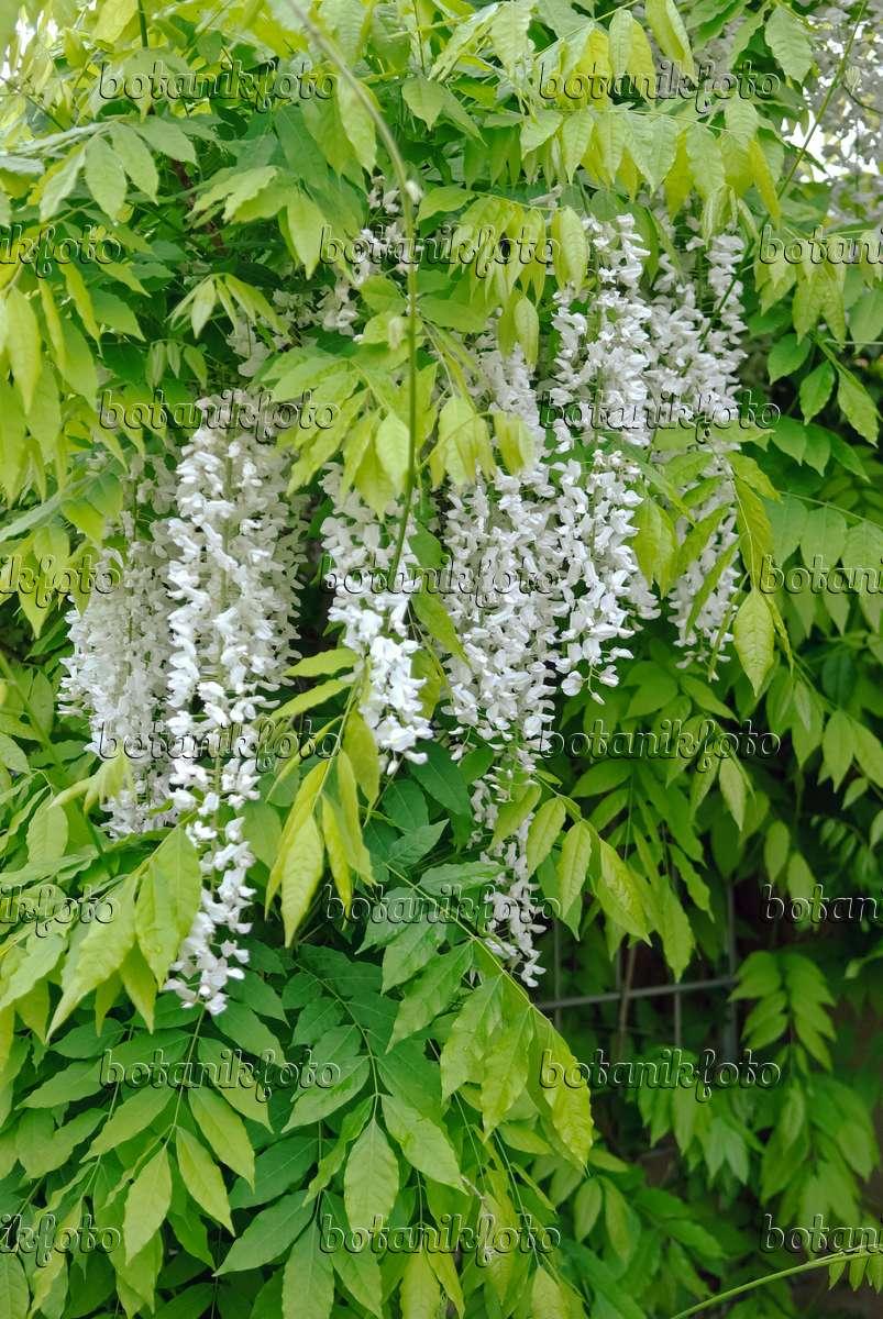 bild japanischer blauregen wisteria floribunda 39 shiro noda 39 490189 bilder und videos von. Black Bedroom Furniture Sets. Home Design Ideas