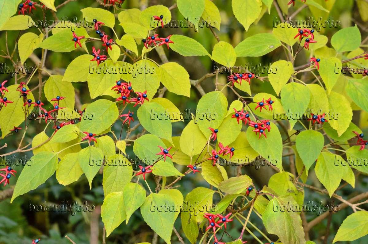 Bild Japanischer Losbaum Clerodendrum Trichotomum Var Fargesii Syn